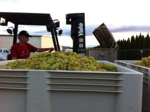 muscat 2013 grapes