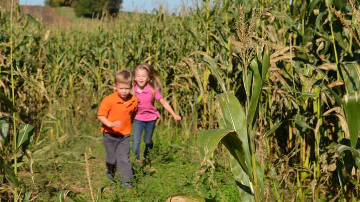 The kids loved running among the cornstalks.