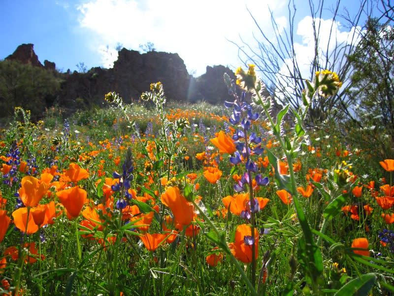 Ajo wildflowers