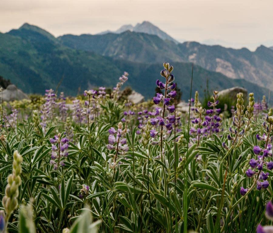 Lake Hardy Wildflowers in Utah Valley