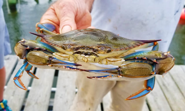 A man holds a blue crab in the Outer Banks