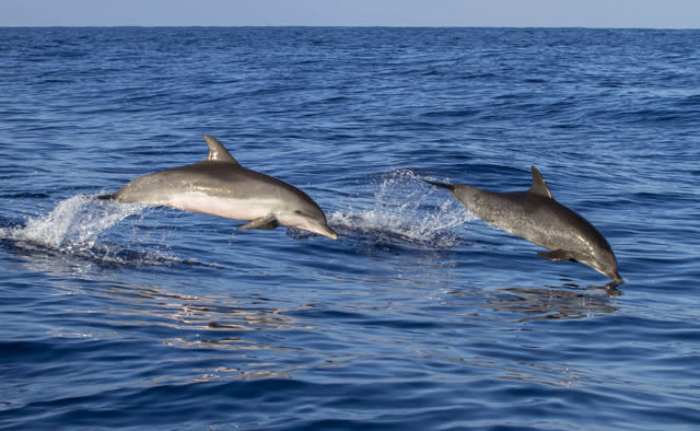 Dolphins jumping out of the water off the coast of the Outer Banks