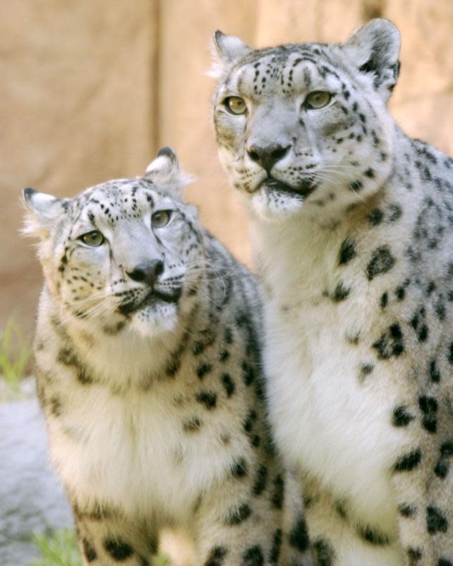 The Snow Leopards are a favorite exhibit at the Sacramento Zoo.
