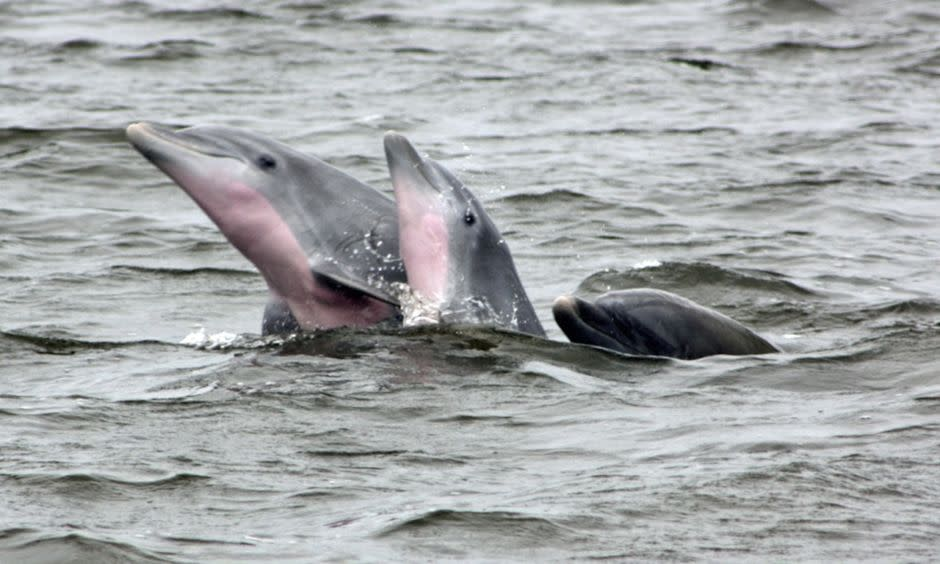 Dolphins in Outerbanks, NC