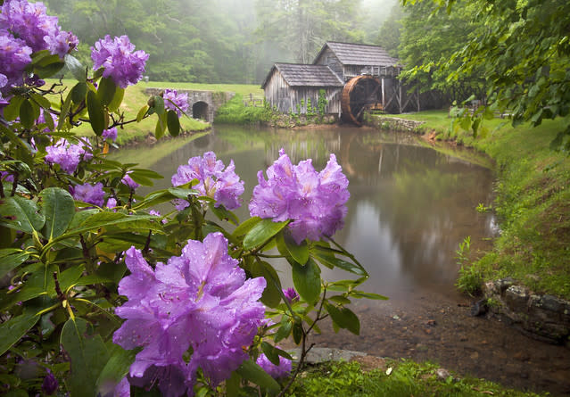 Mabry-Mill-Rhododendron