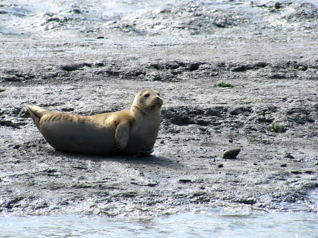 Harbor Seal on Elkhorn Slough