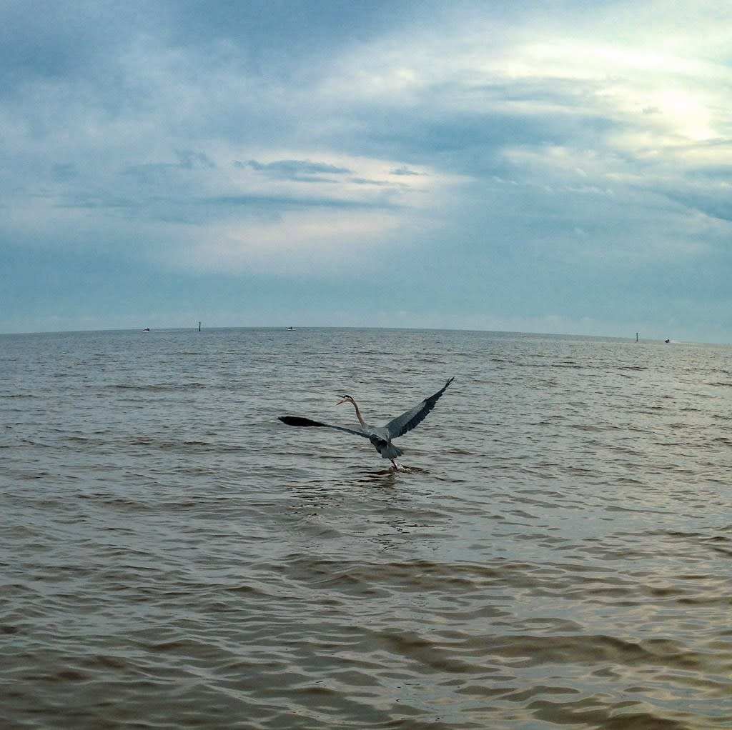 A blue heron flies low over a broad expanse of water along coastal Mississippi.