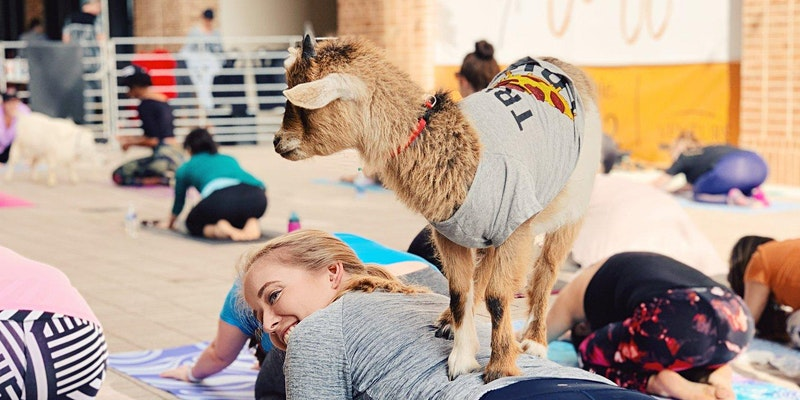A young goat balances on the back of a woman during a session of goat yoga in Irving, TX.