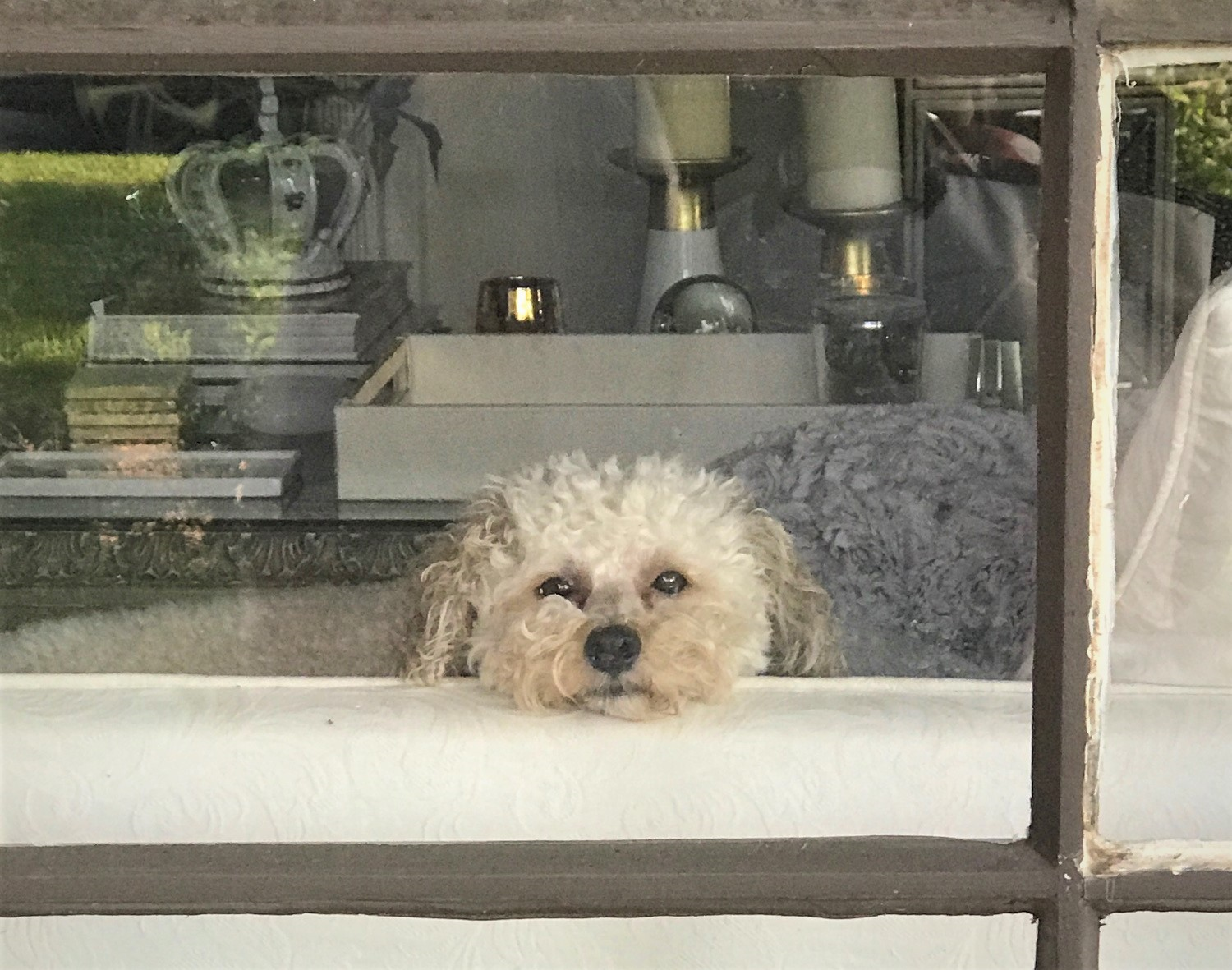 A fluffy white dog looks longingly out of a window.