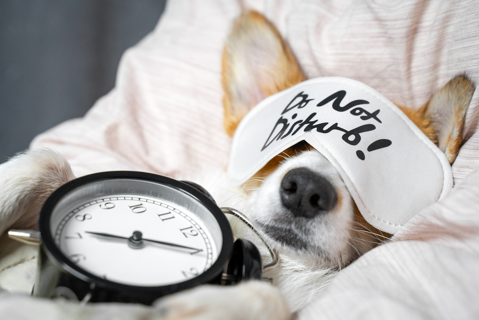 "A Corgi enjoys a nap while wearing a sleeping mask that reads ""Do Not Disturb!"""