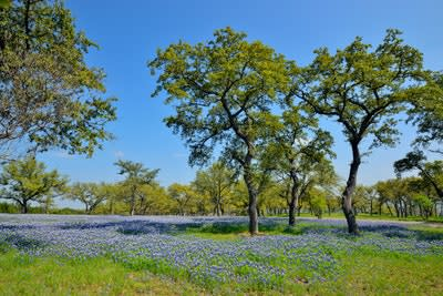 Bluebonnets and oaks on grounds of a rural residence Marble Falls Texas USA