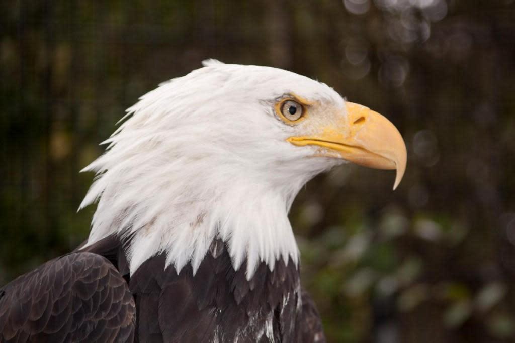 james river bald eagle