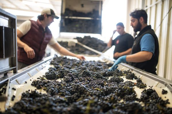 Harvest workers sort grapes