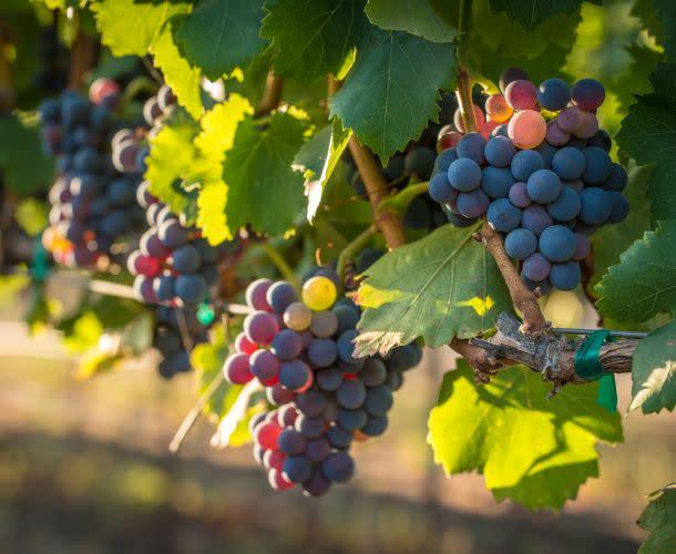 Grapes in Napa Valley vineyard