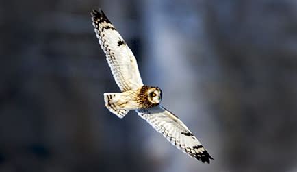 Short Eared Owl - Sterling Nature Center - Cayuga County