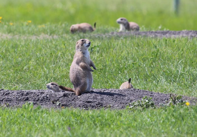 Prairie dogs at FortWhyte Alive