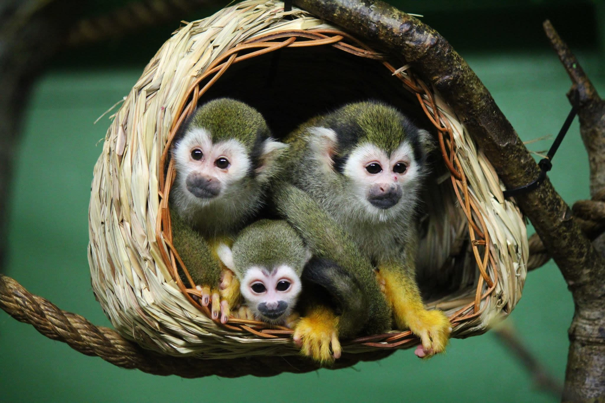 Squirrel Monkeys at the Assiniboine Park Zoo.