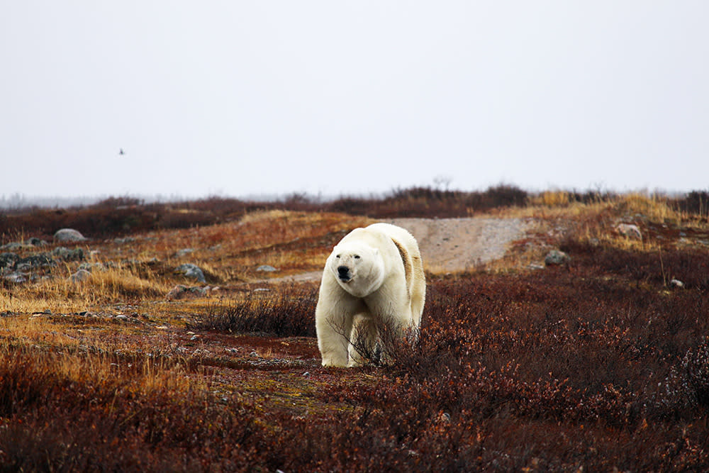 Large polar bear in northern Manitoba