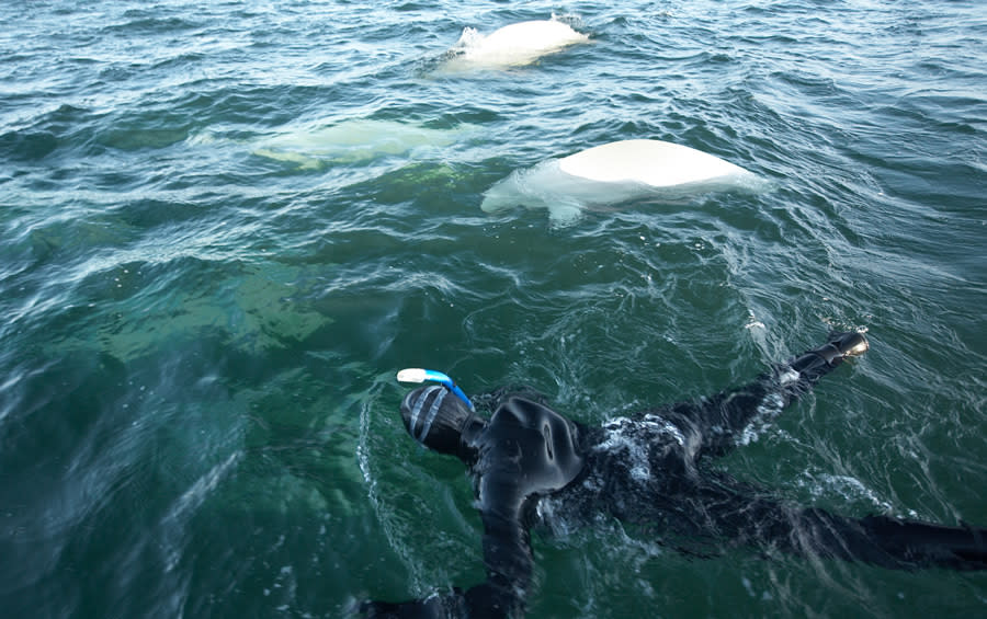 Swimming with belugas in Hudson Bay, Manitoba.