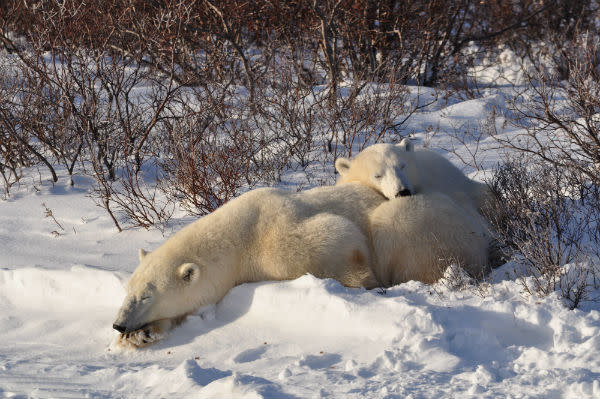 Mom and cub taking a nap