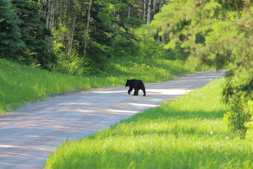 Bear spotted in Riding Mountain National Park