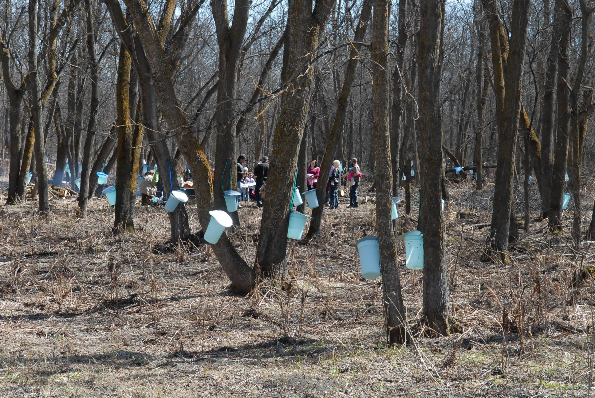 Maple tree taps at McCreary's Manitoba Maple Syrup Festival