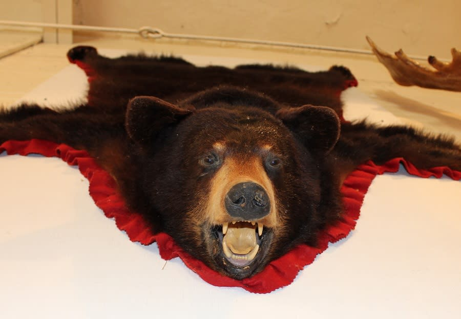 Bear on the wall at the Minnedosa Heritage Village Museum