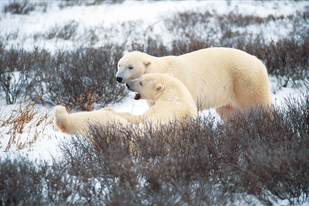 Playful Polar Bears in Northern Manitoba