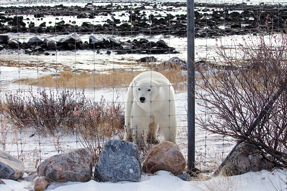 Female polar bear making a visit to the Seal River Heritage Lodge