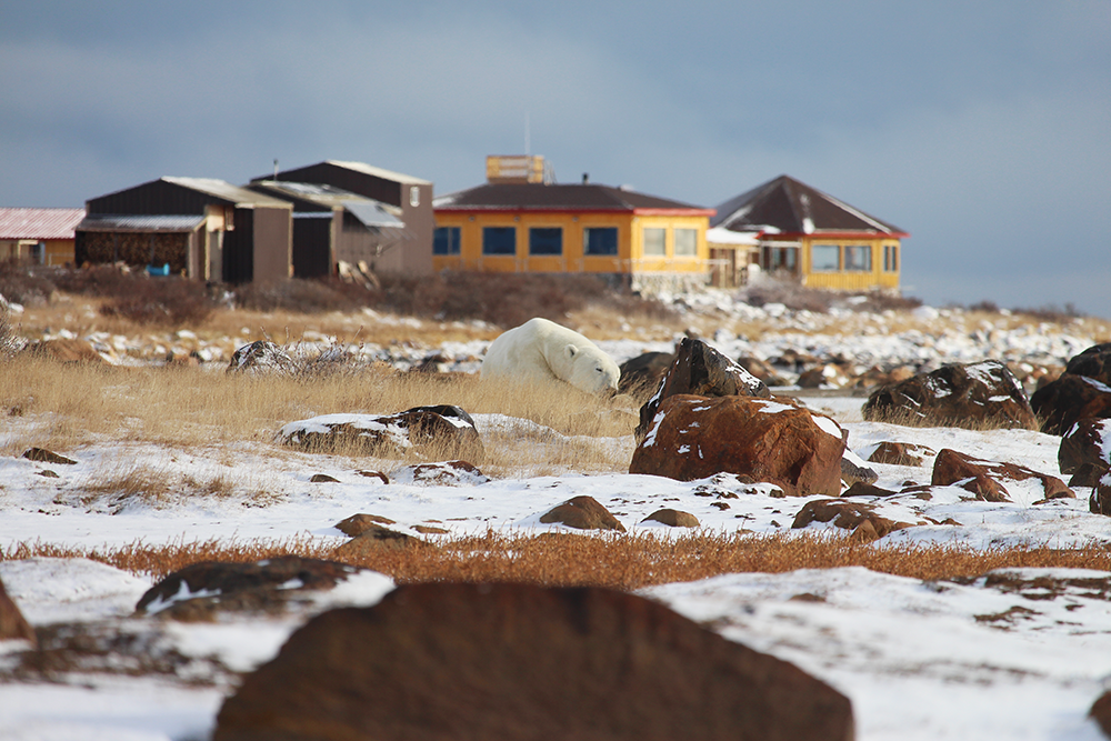Polar Bear in front of Seal River Heritage Lodge