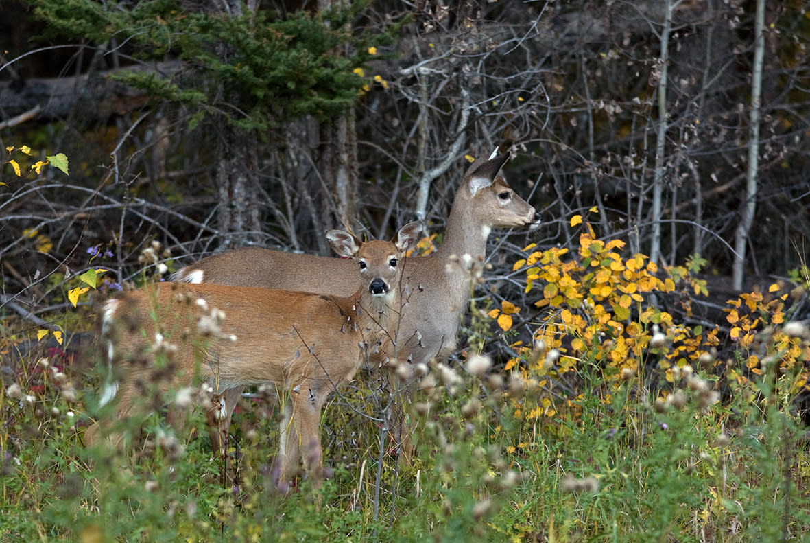 See  white-tailed deer in Manitoba