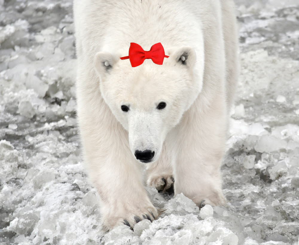 Polar Bear as Snow White