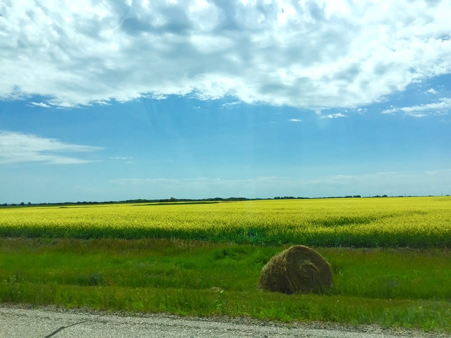 View of canola fields on the drive from Minnedosa