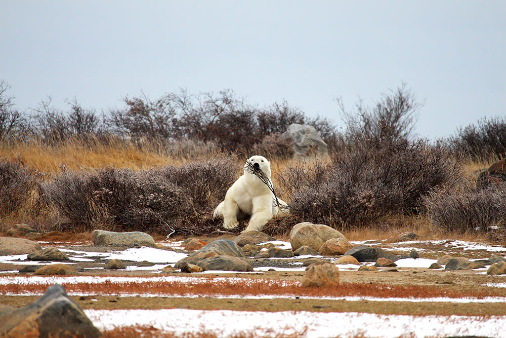 Polar Bear with Twig in northern Manitoba