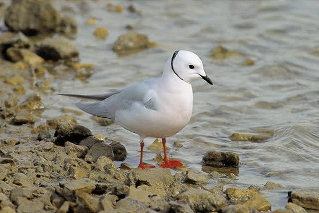 See the rare Rosss Gull inss Manitoba