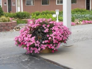 Here are some of the beautiful plants flourishing at Katie's Kountry Korner - oh, to be able to grow flowers like this!