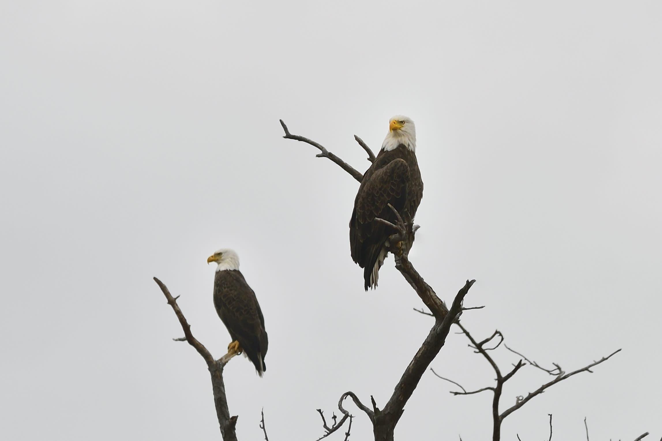 Eagles in Hudson Valley