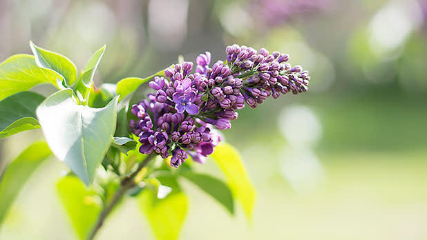 Rochester's Lilac Festival - Photo Courtesy of Rochester's Lilac Festival