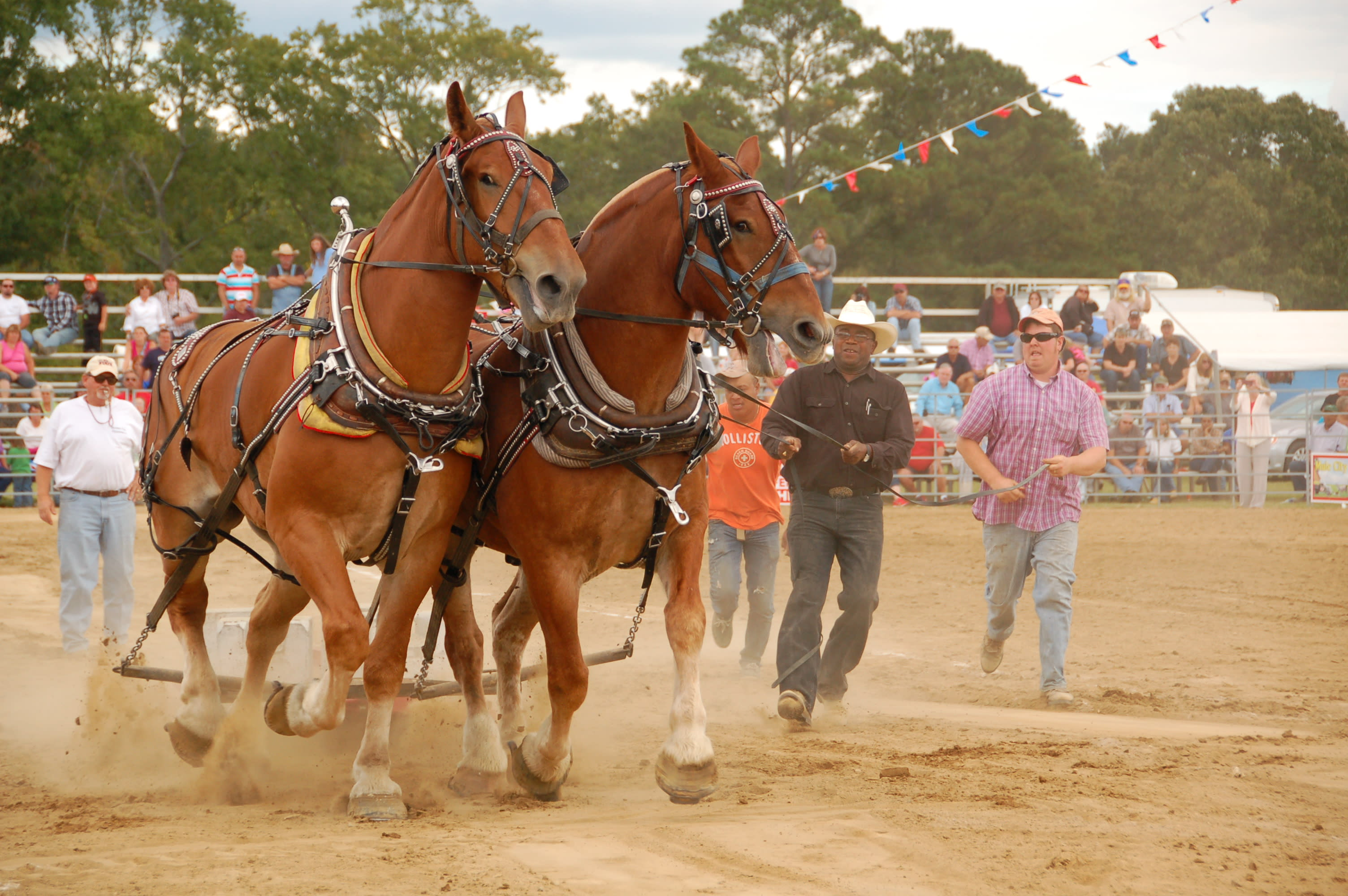 Mule Contests During Festival