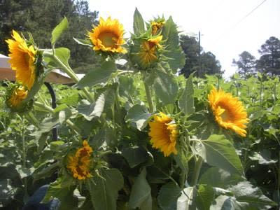 melroses_sunflowers.jpg
