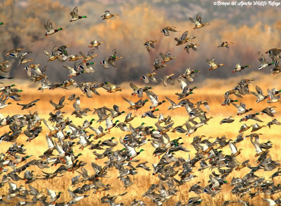 Bosque del Apache National Wildlife Refuge, south of Albuquerque