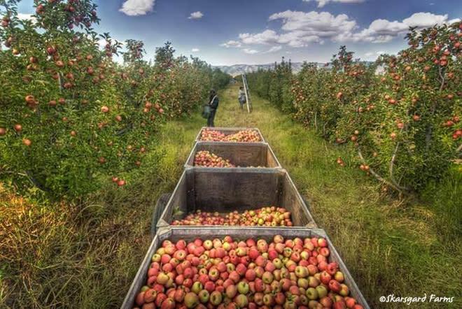 Skarsgard Farms apple harvest