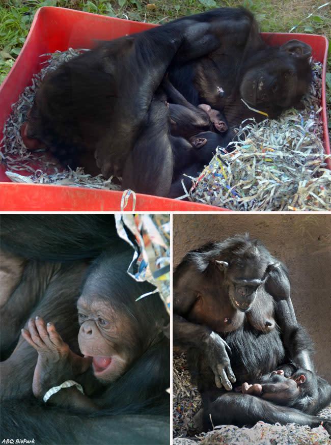 Chimp Babies - ©ABQ BioPark