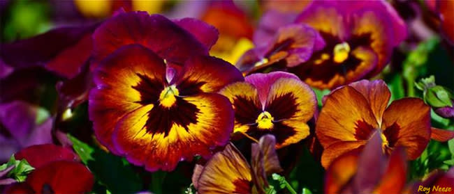 Multicolored pansies provide a splash of color in the shade of the botanic garden at the ABQ BioPark