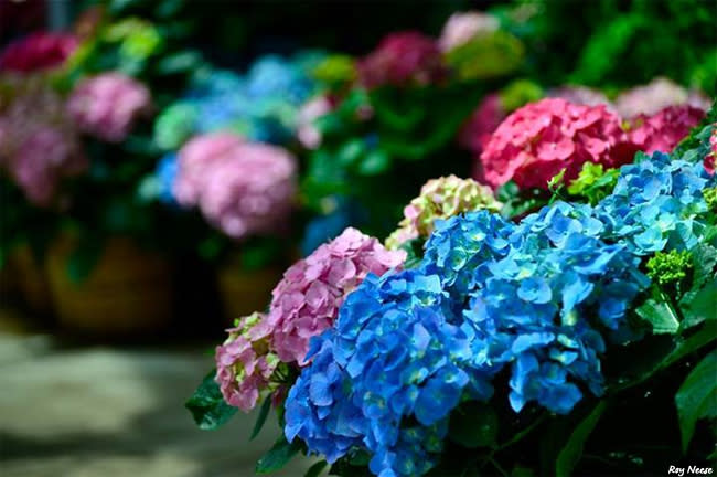 Hydrangeas, colored pink and blue by changing the pH of their soil, pack the inside of the Mediterranean Conservatory at the ABQ BioPark
