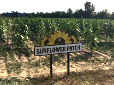 Sunflower Patch - County Line Orchard