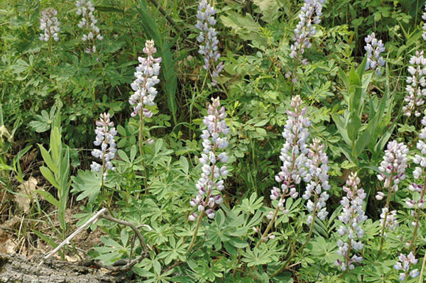 Wild Lupine at Miller Woods, Indiana Dunes
