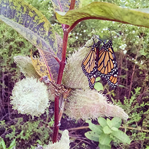 Monarch on a milkweed plant with a seed pod forming