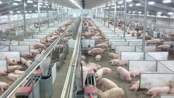 Pig Adventure Fair Oaks Farms