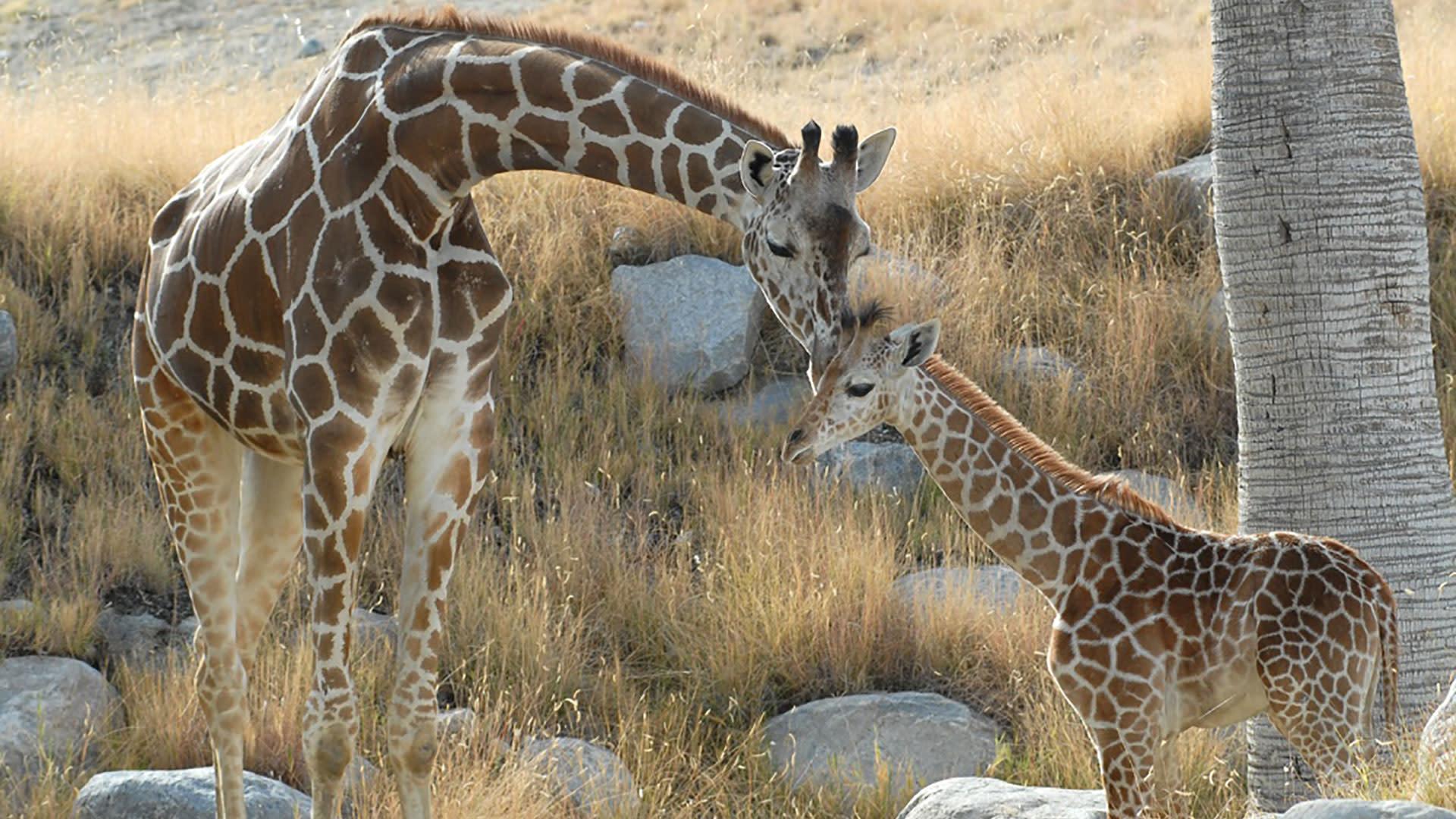 year of the giraffe at the living desert